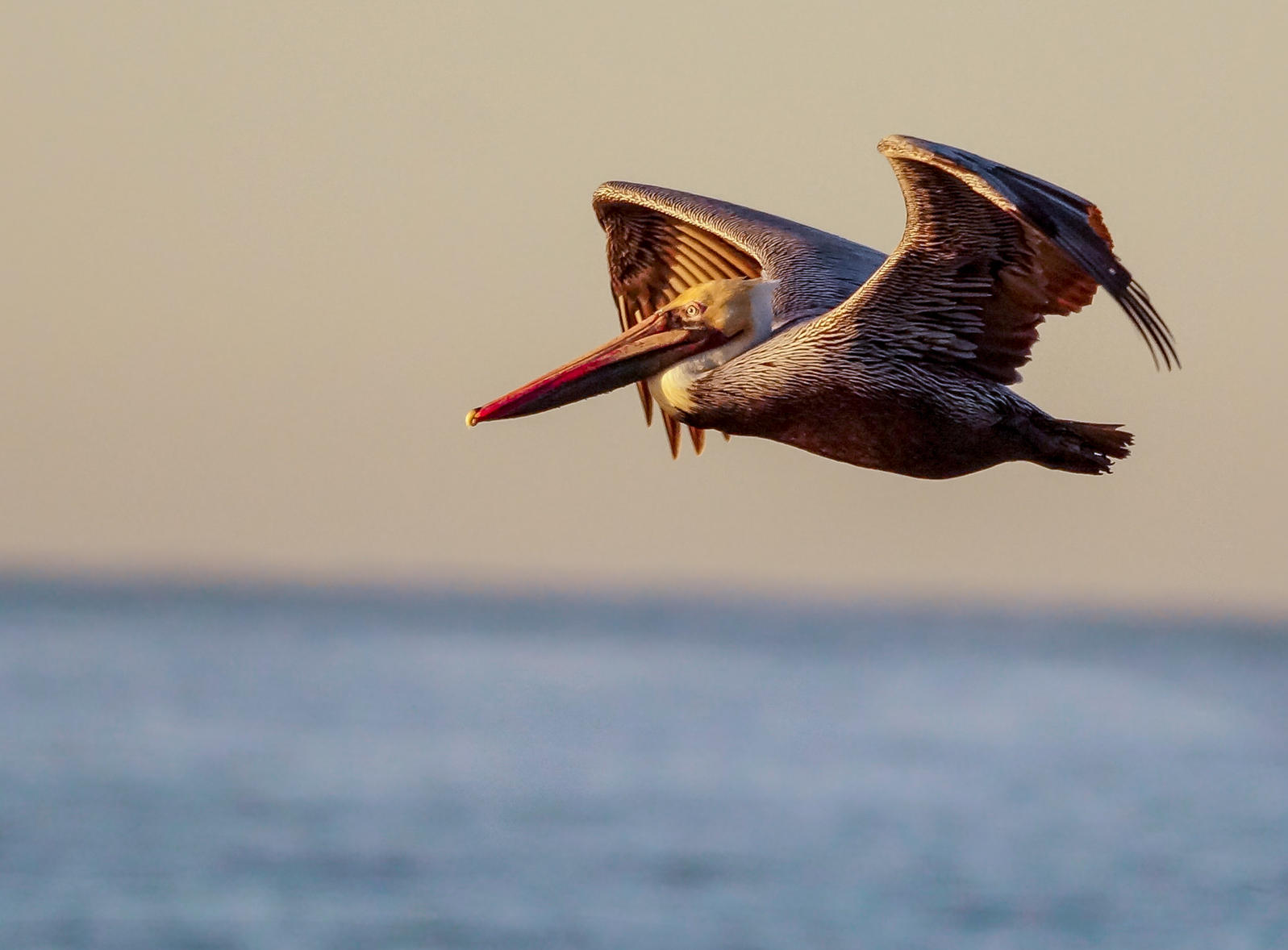 Brown Pelican, photo: Joanne Bartkus/Audubon Photography Awards