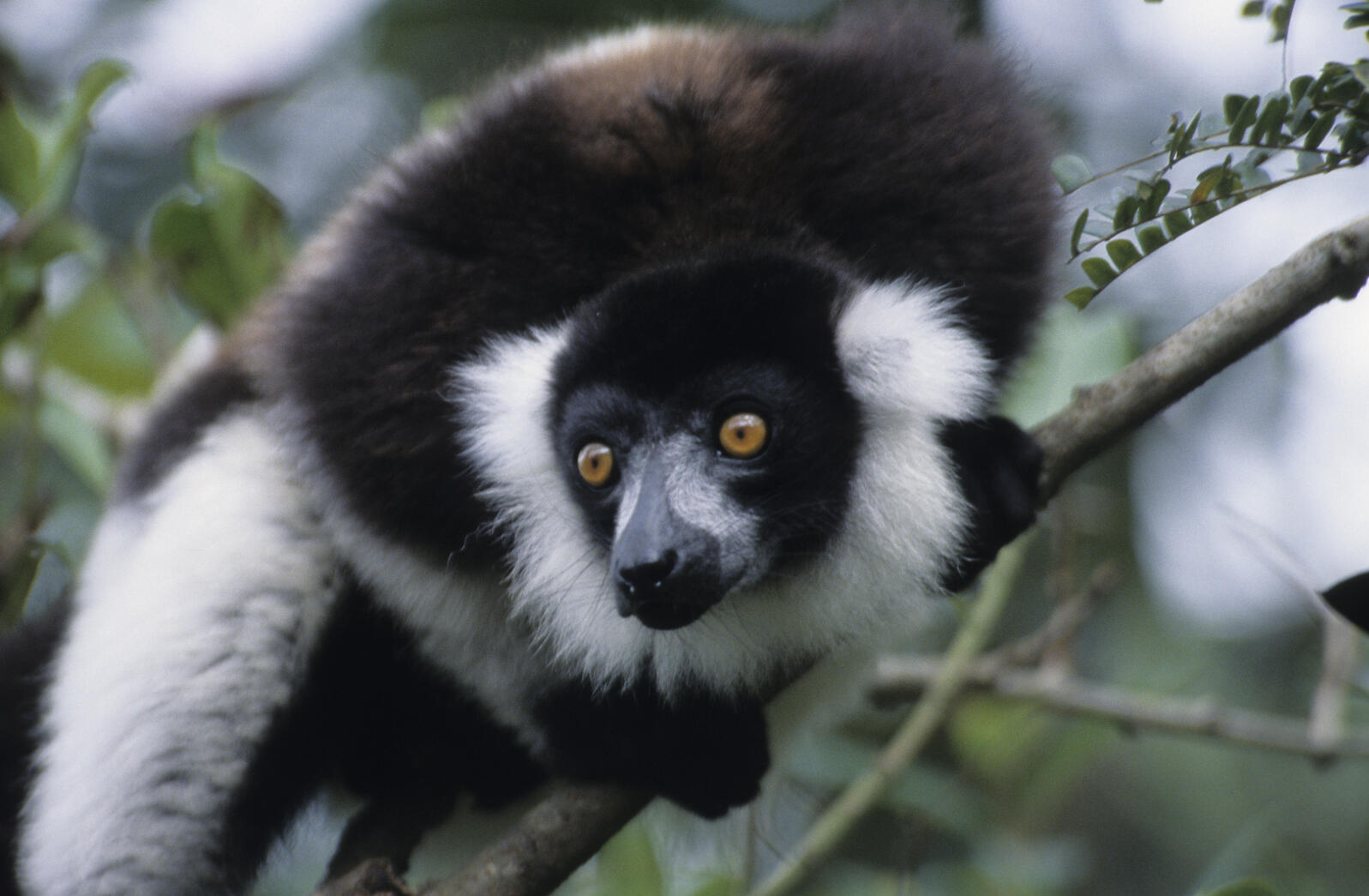 For beginners looking to jump-start their primate lists, take a trip to Madagascar, where lemurs, such as this black-and-white ruffed lemur, abound. Photograph by Russell Mittermeier