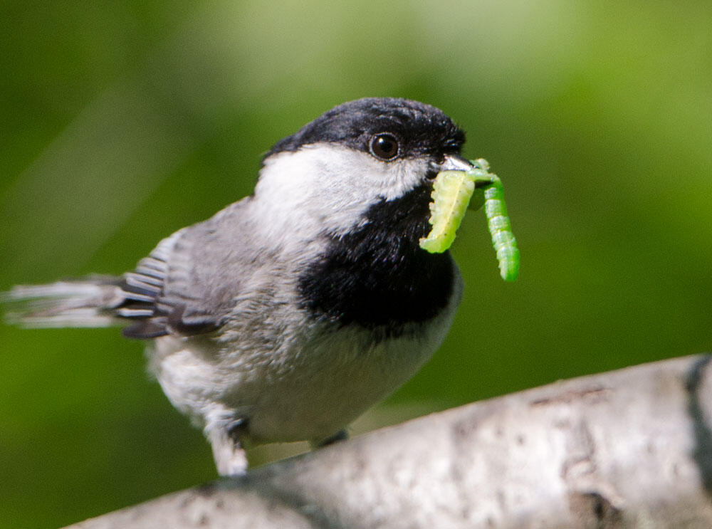 A nesting Carolina Chickadee will collect more than 400 caterpillars each day. The bugs are packed with nutrients like carotenoids that growing chicks need to thrive. Douglas Tallamy