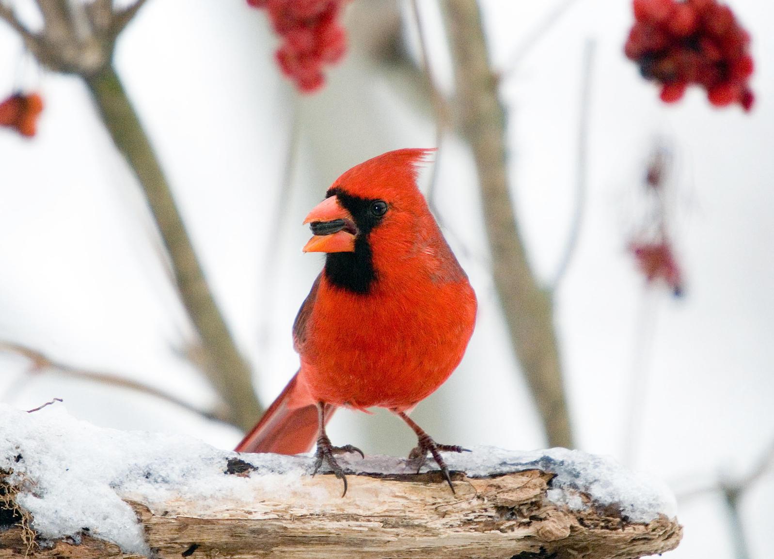 Northern Cardinal Jerry Acton