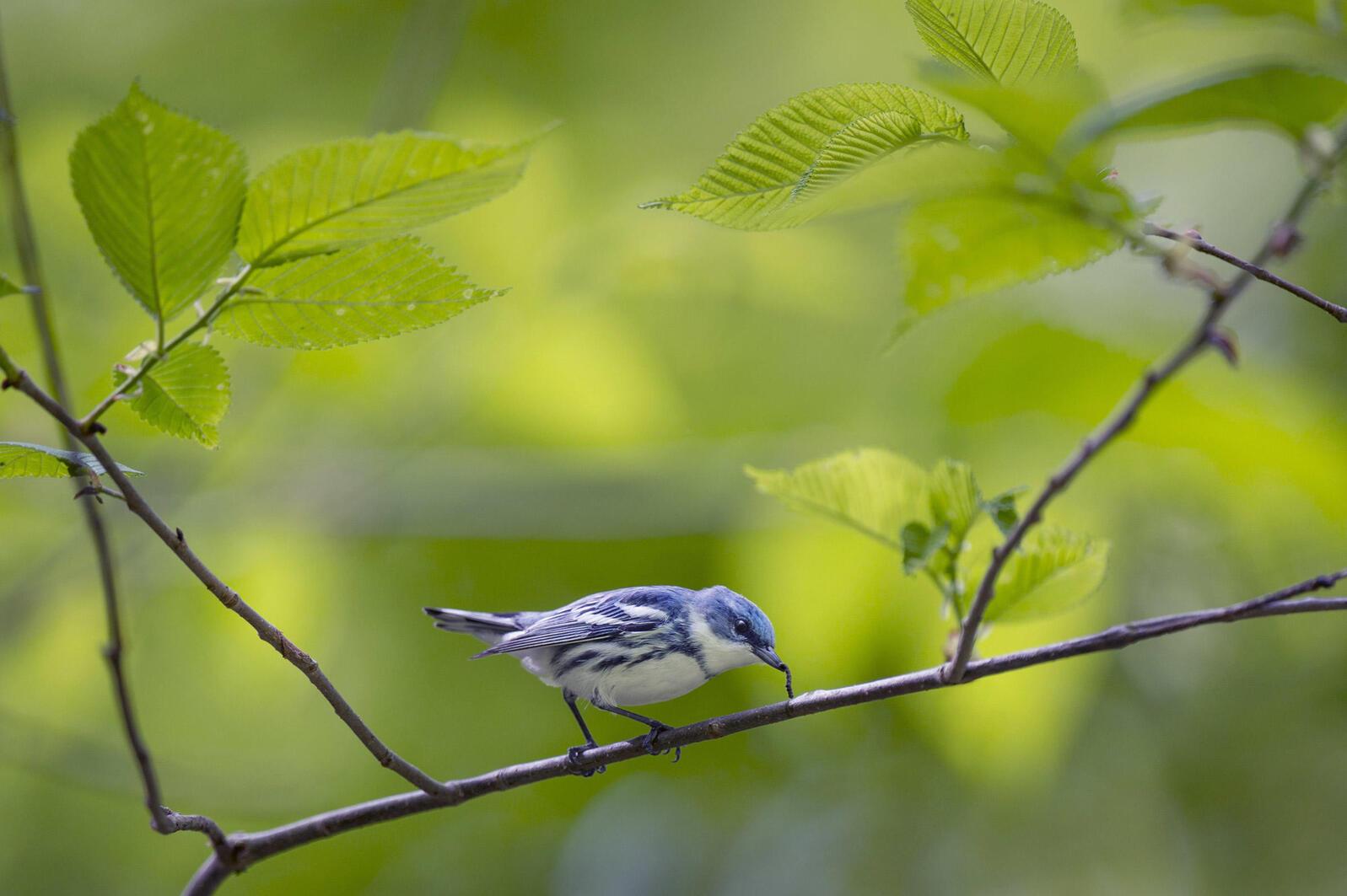 Cerulean Warbler. Ray Hennessy/Shutterstock