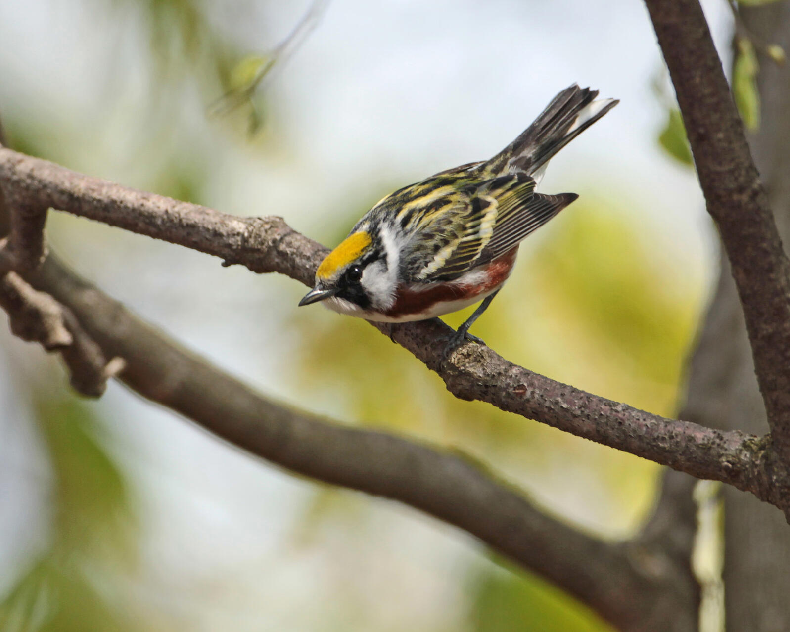 Chestnut-sided Warbler | Matt Tillett/USFWS