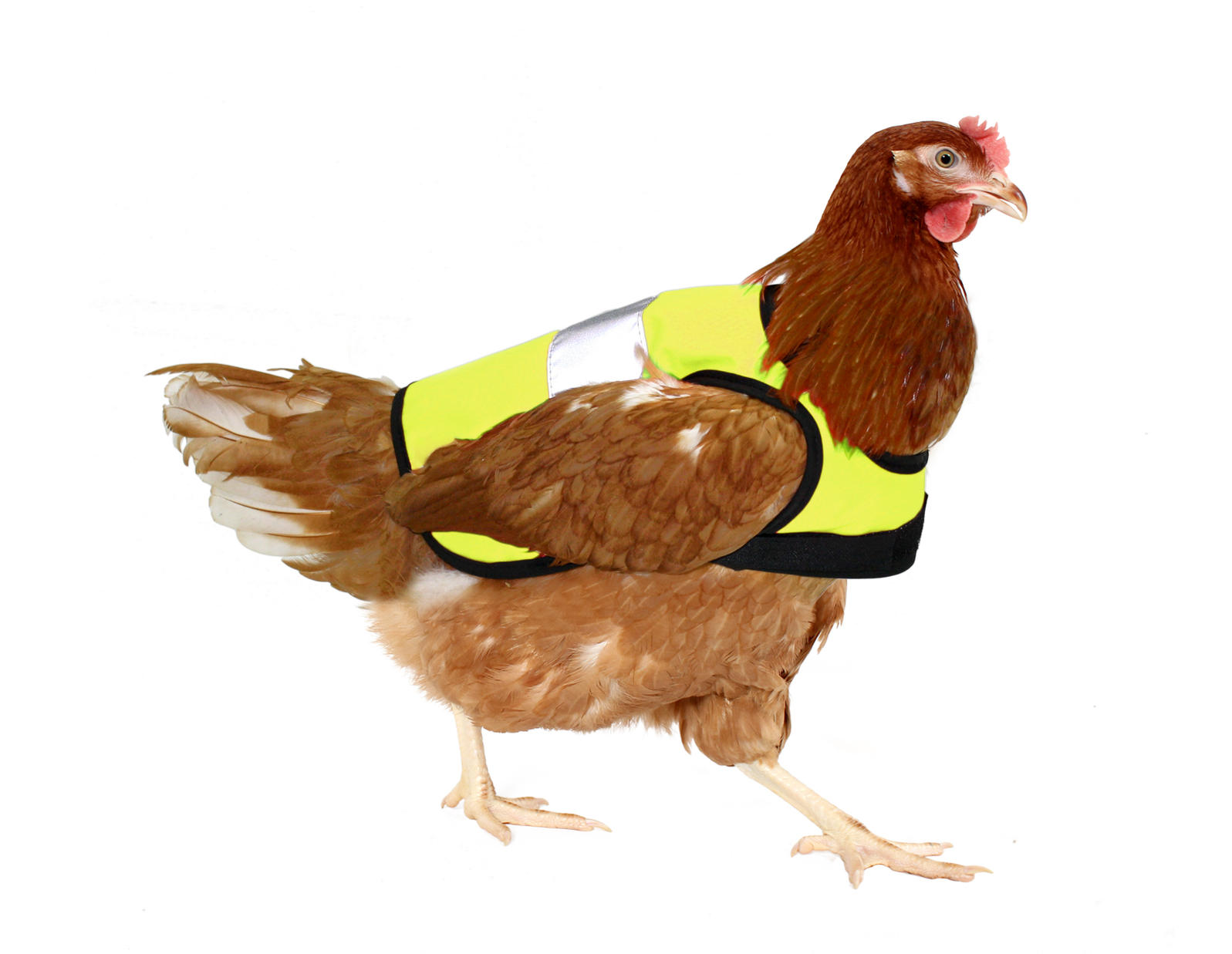 """A chicken wearing one of Omlet's yellow """"high-vis chicken jackets."""" Photo courtesy of Omlet. Omlet"""
