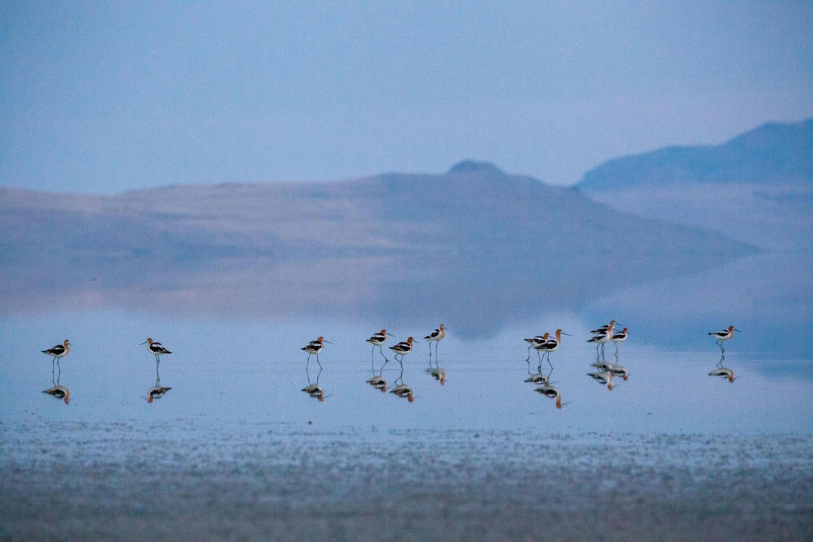 American Avocets, Great Salt Lake. Camilla Cerea/Audubon