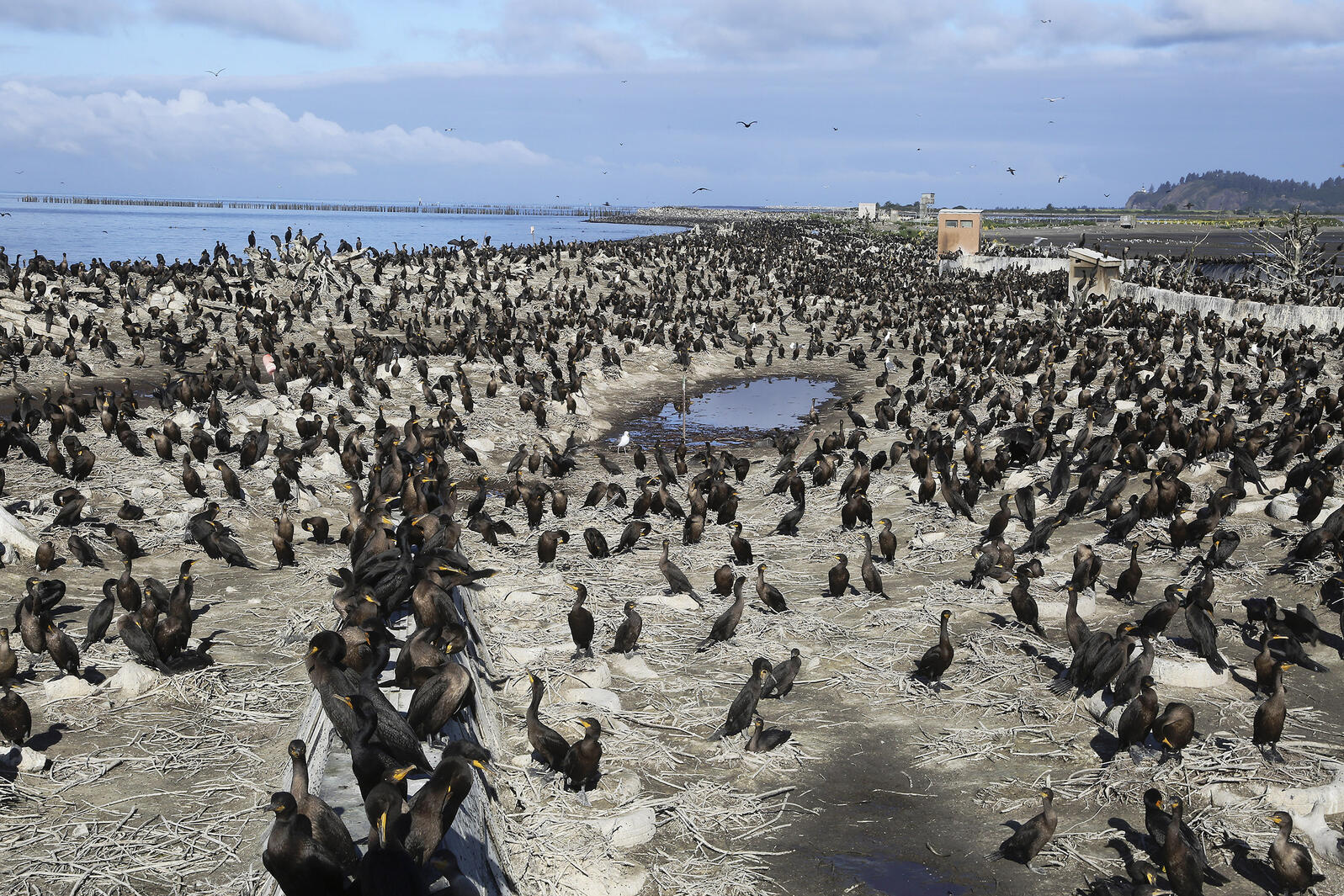 Double-crested Cormorants (and a few gulls) occupy their shrinking quarters on East Sand Island. Jim Wilson/New York Times/Redux