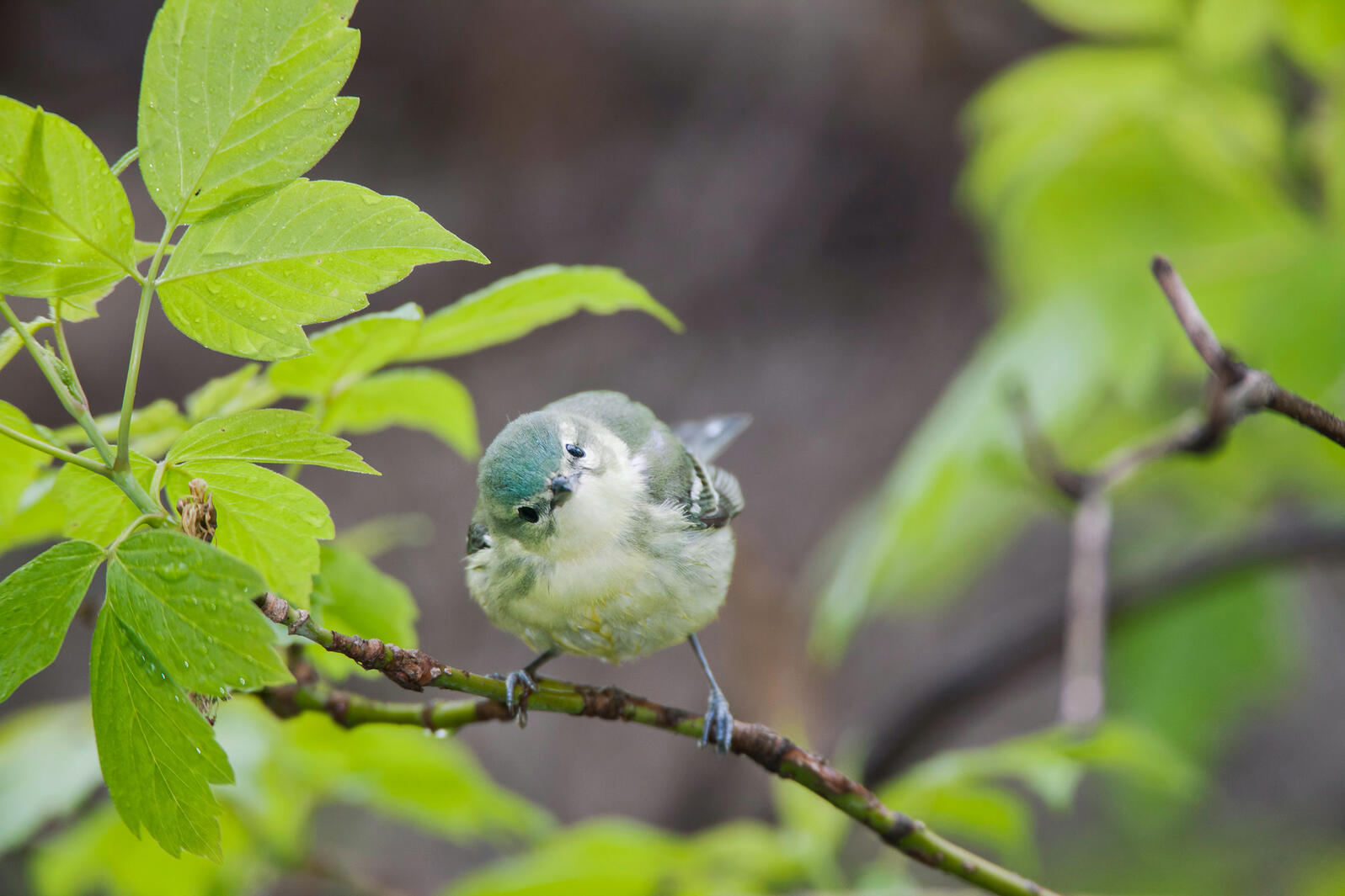 """Female Cerulean Warblers have a """"zeet"""" call, but weren't known for more complex songs — until now. Randy Mehoves/Alamy"""