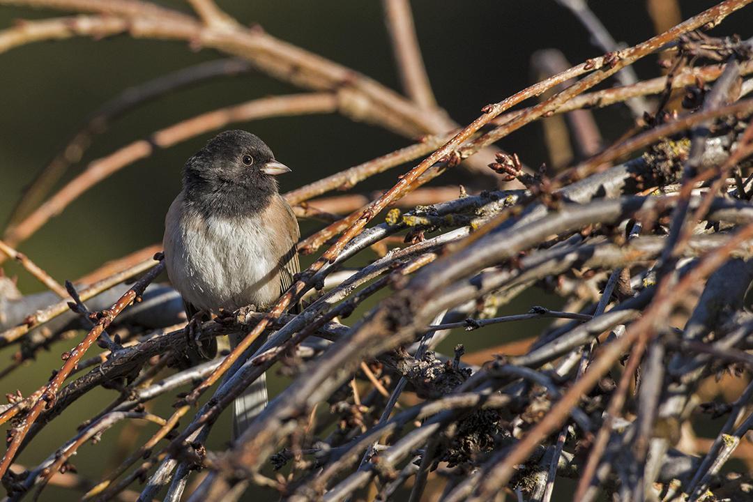 Dark-eyed Junco. Christine Haines/Great Backyard Bird Count