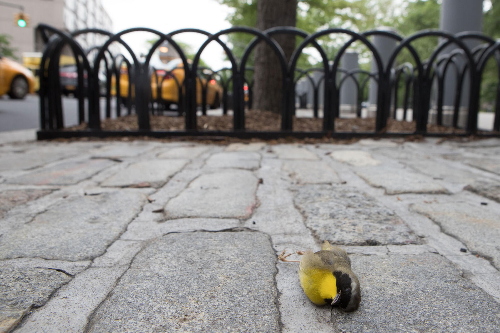 Common Yellowthroat killed from a building collision in New York. Camilla Cerea