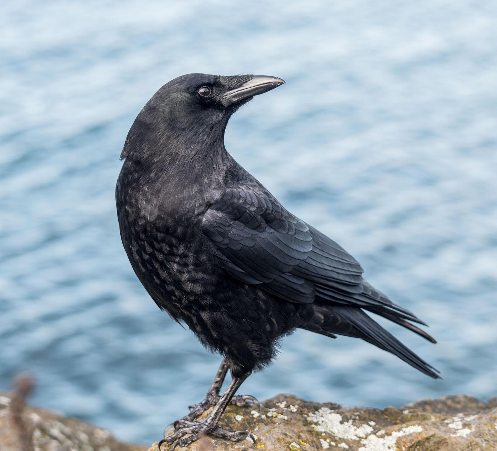 American Crow. Kaeli Swift
