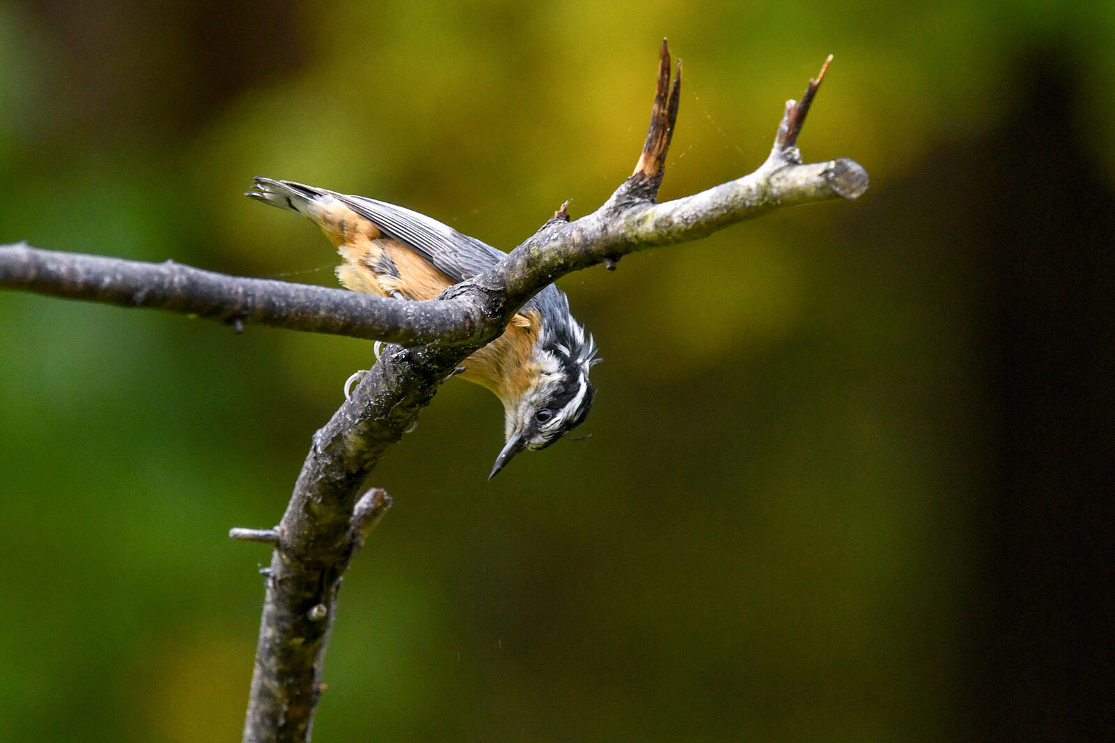 Red-breasted Nuthatch in New Jersey this week. Deborah Bifulco