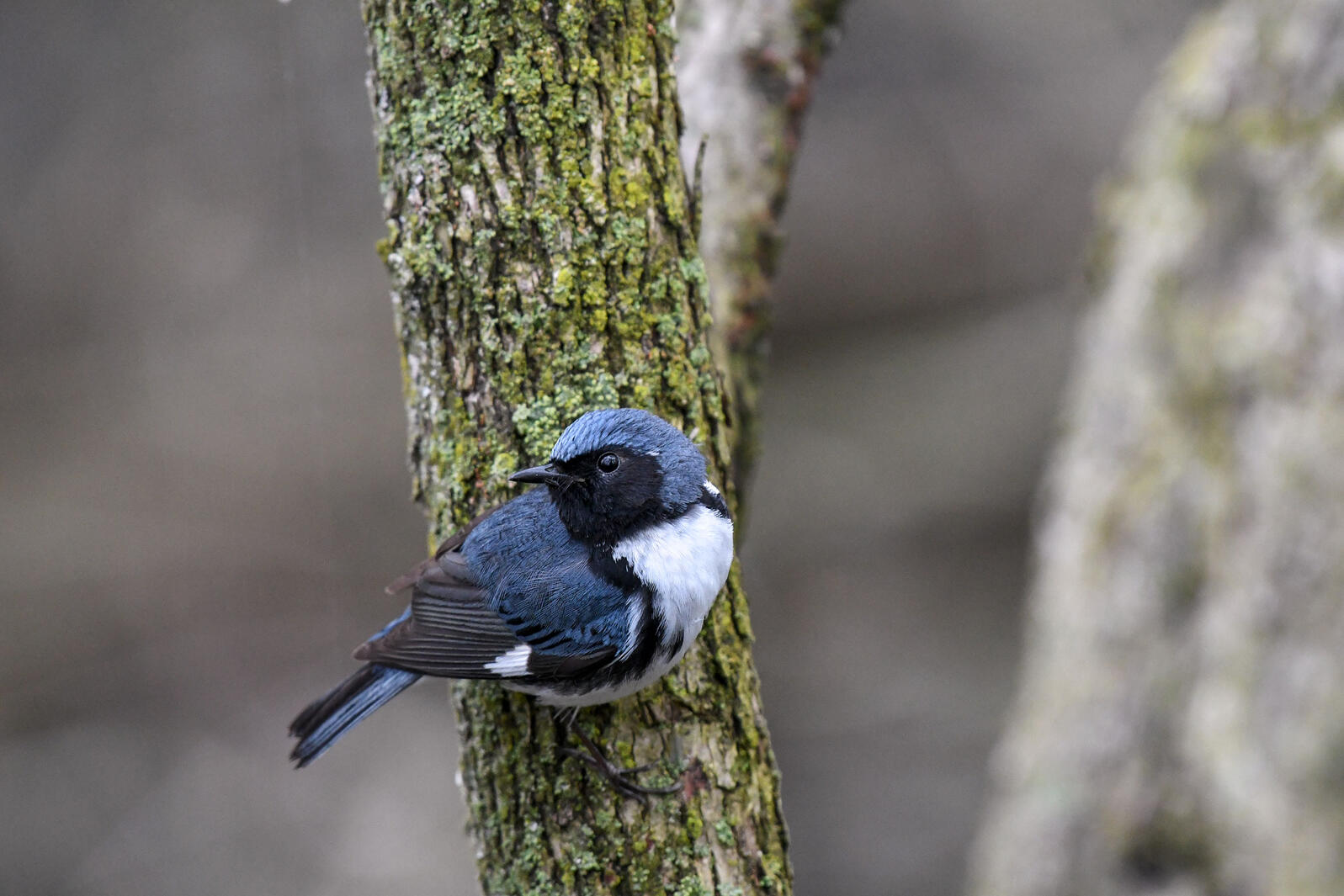 Black-throated Blue Warblers have shifted the timing of their spring and fall migrations over the past fifty years. Kyle Horton