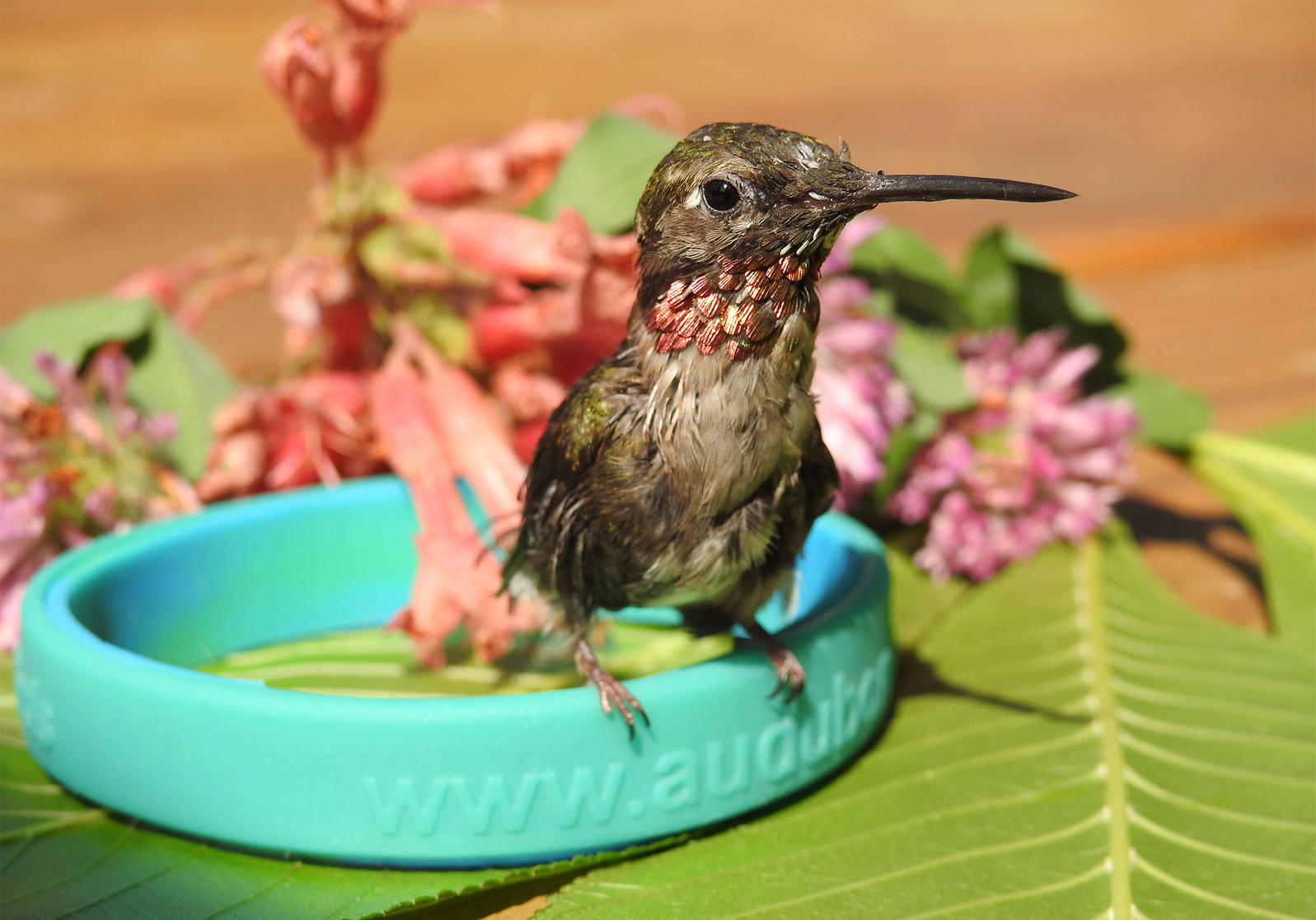 After suffering an irreparable broken wing, Shep the Ruby-throated Hummingbird has found a permanent home with Atlanta Audubon. Melanie Furr