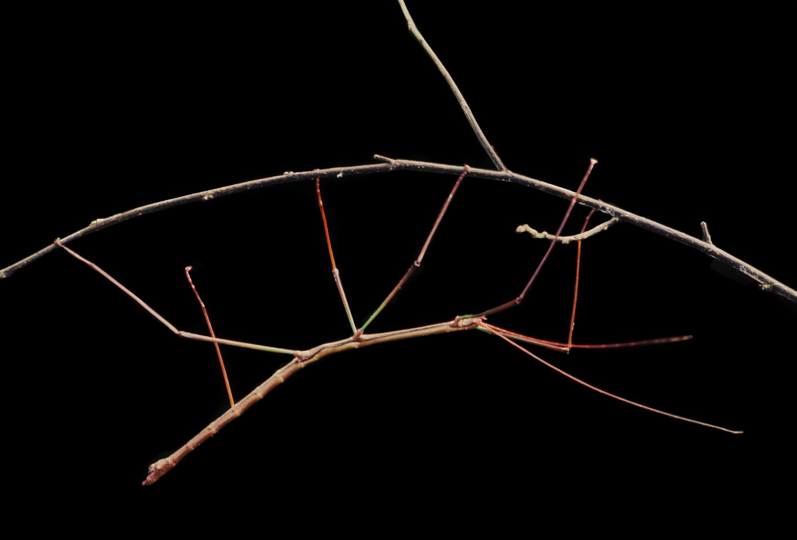 A walkingstick Photograph by Frans Lanting/Corbis