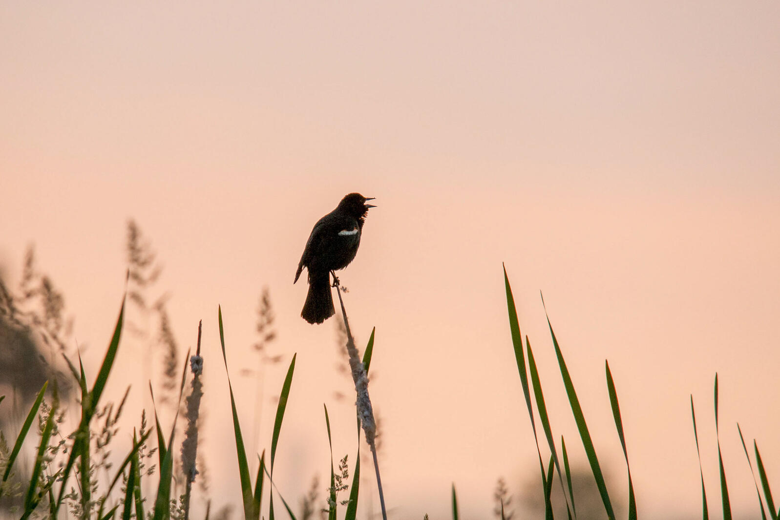 Red-winged Blackbird singing at dawn. Paul Sparks/Alamy