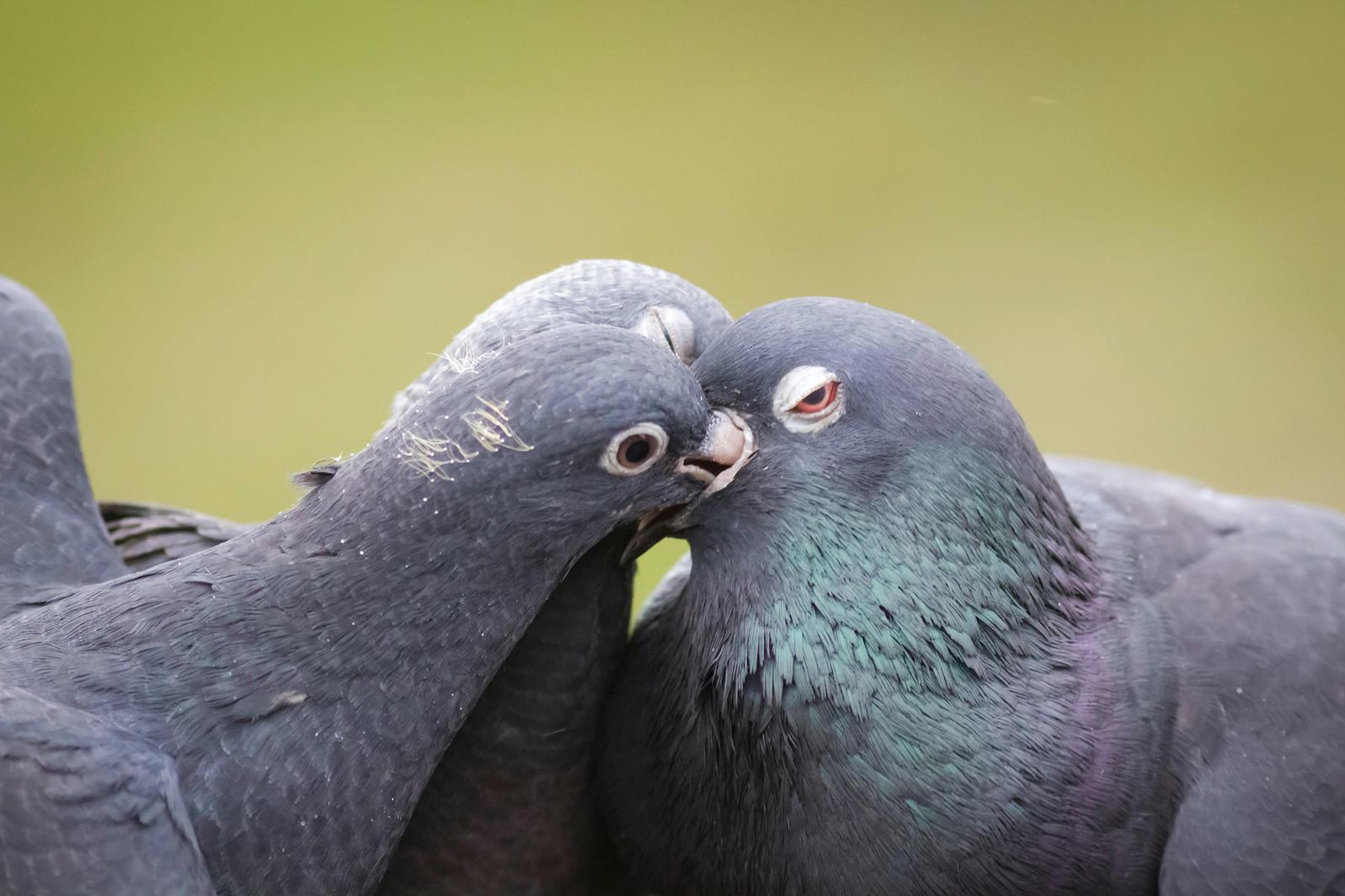 Rock Pigeons. Paul Farnfield/Alamy