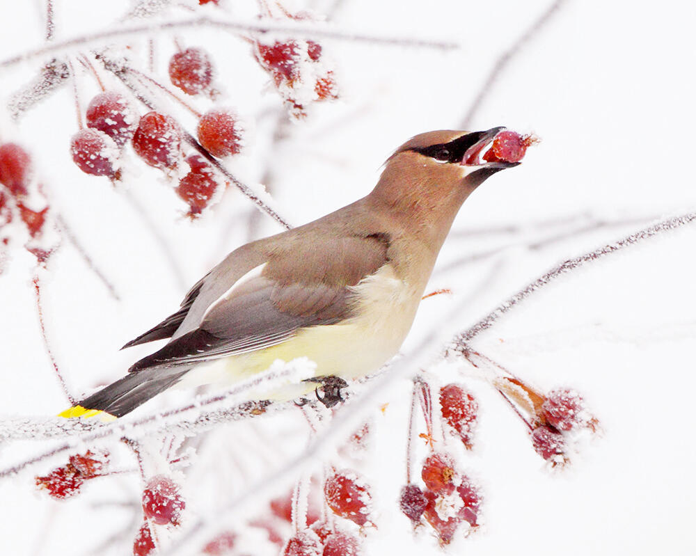 This Cedar Waxwing snacking on winter berries may or may not be intoxicated.&nbsp. Gary Clark