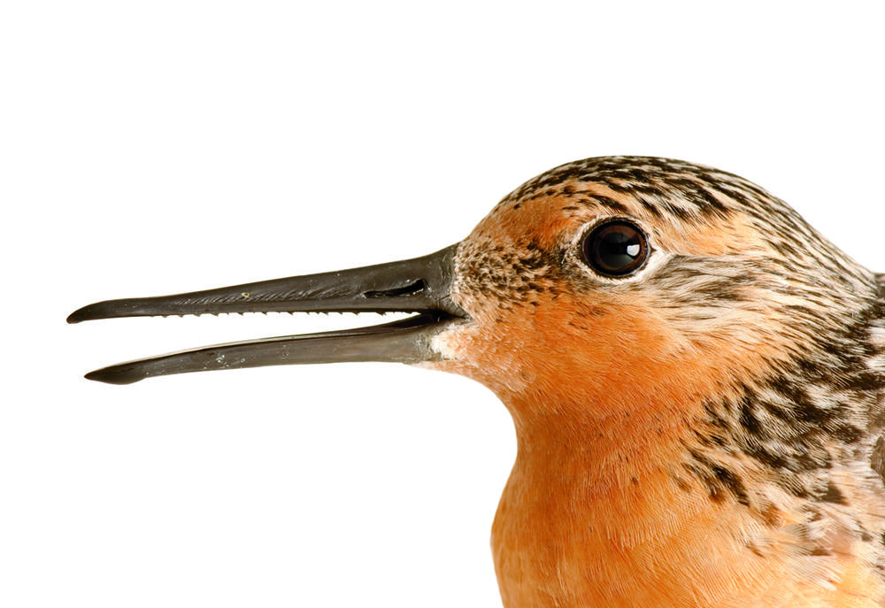 """A Red Knot smiles for the camera. The serrations on the inside of its bill help it grip slippery things. They look like the """"teeth"""" on a saw, but they're not real teeth, so the Red Knot never has to go to the dentist! Credit: Joel Sartore/joelsartore.com"""
