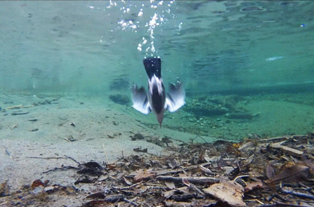 An American Dipper dives to the bottom of a stream in Alaska. Credit: Courtesy of Bob Armstrong