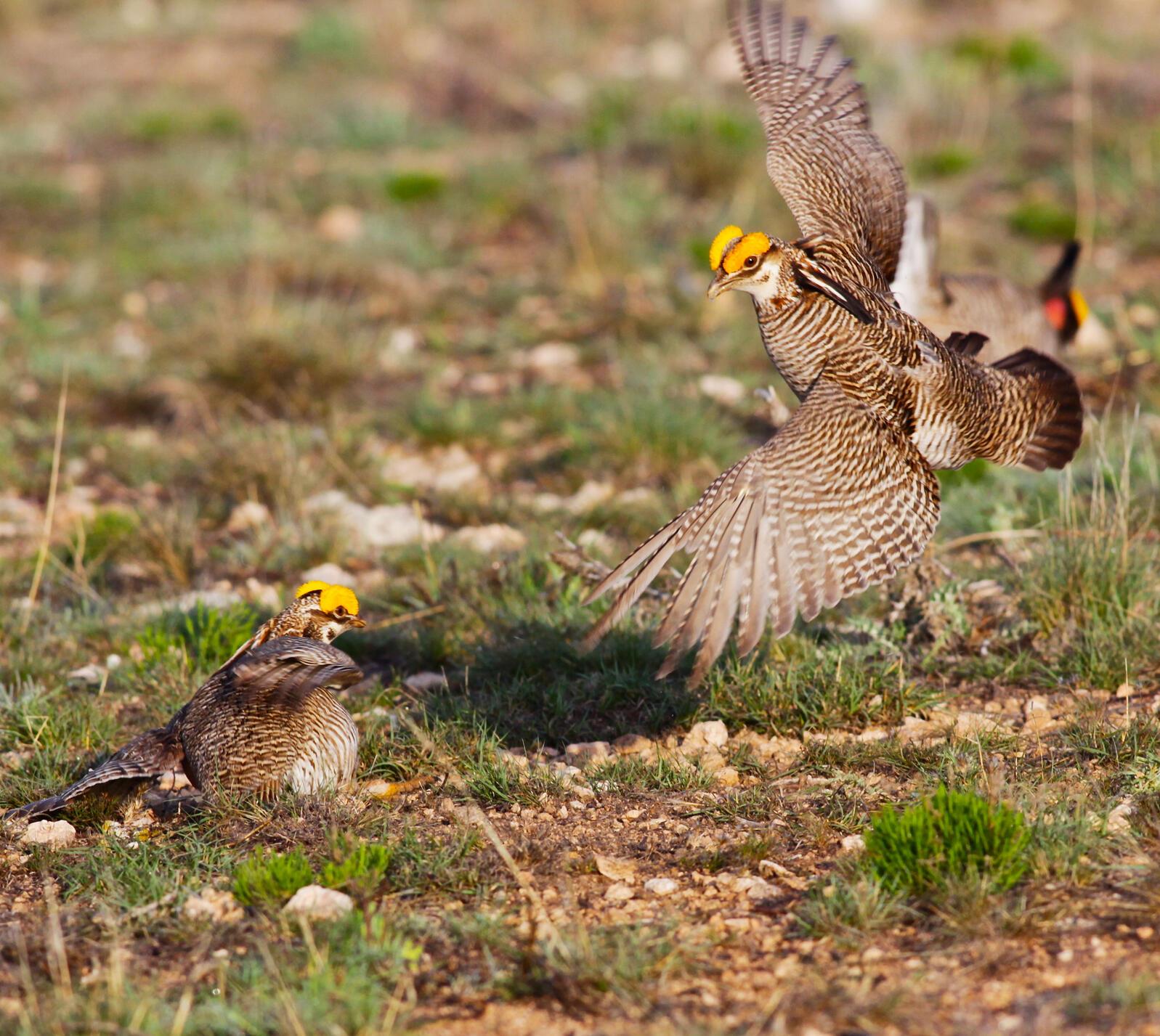 Lesser Prairie Chicken. Lesser Prairie Chicken. Linda Rockwell/USDA NRCS