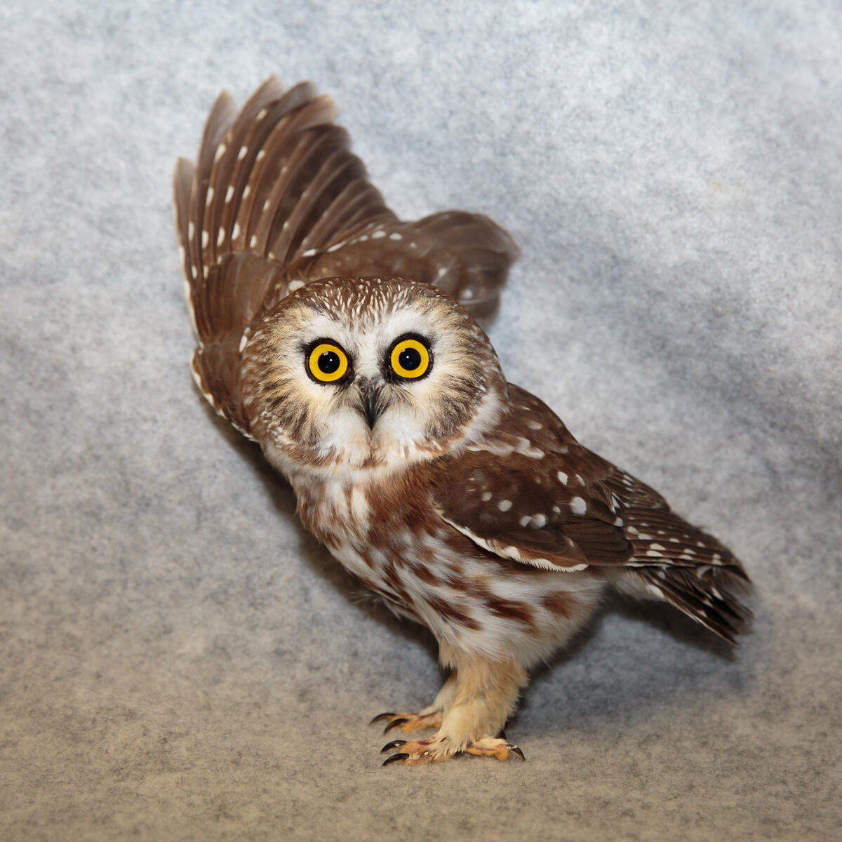 This Northern Saw-whet Owl struck a building on 57th street, and suffered a concussion. It was taken to the Wild Bird Fund in New York City, and later returned to the wild. Charles Chessler Photography