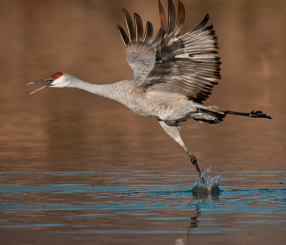 Sandhill Crane. Ginna Short/Audubon Photography Awards