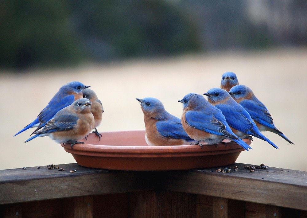 Eastern Bluebirds. Danny Brown/Audubon Photography Awards