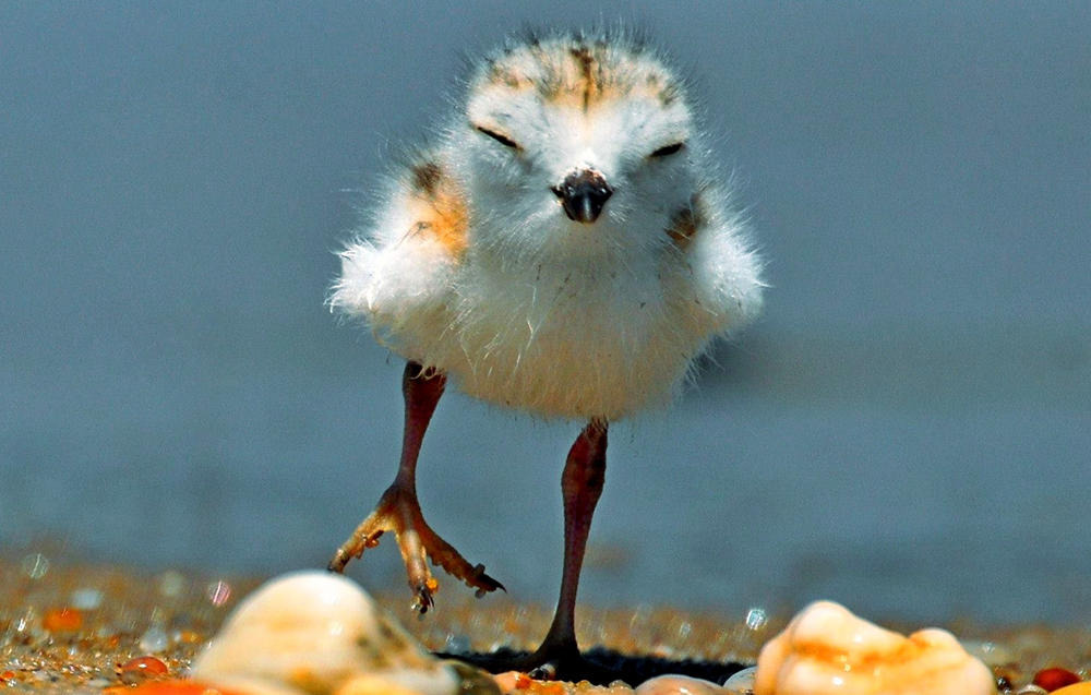 Piping Plover chick | Venu Challa/Audubon Photography Awards