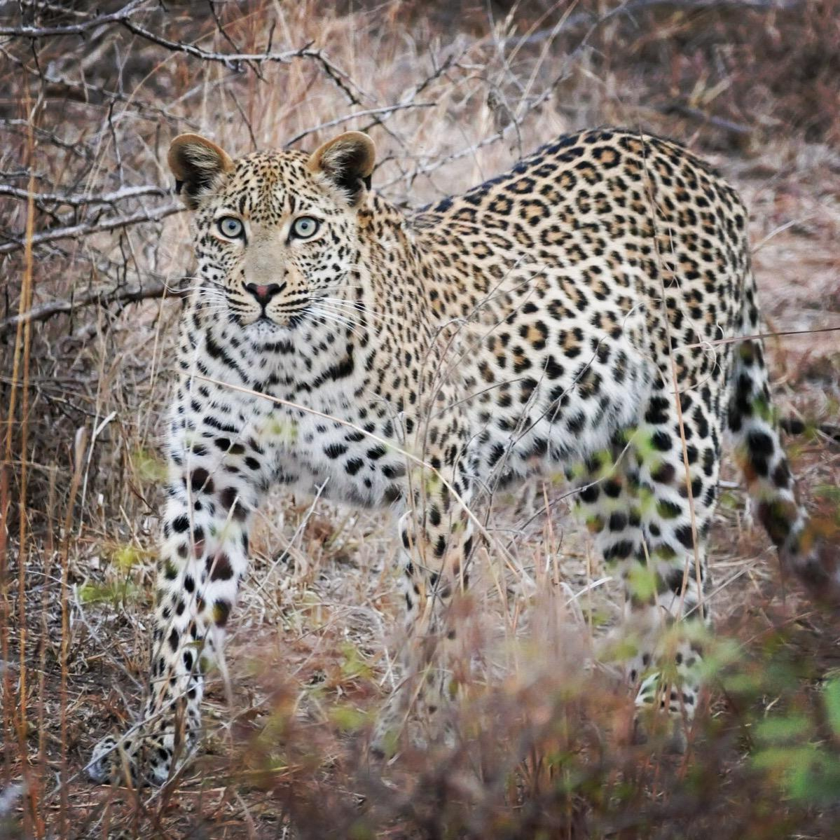 Noah's point-blank view of a leopard at Kruger National Park. Noah Strycker