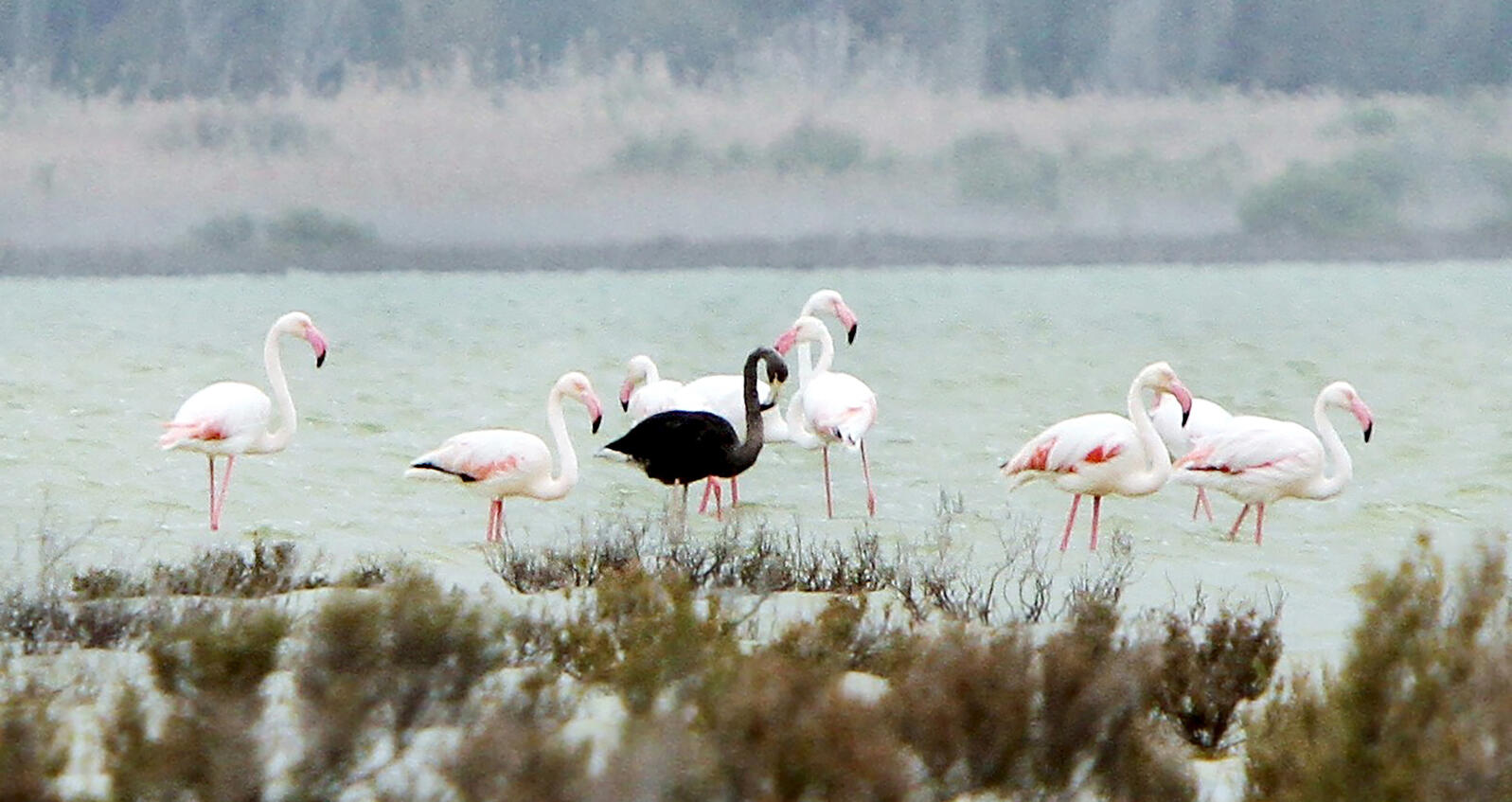 A black flamingo, seen at the salt lake at the Akrotiri Environmental Centre on the southern coast of Cyprus. Marinos Meletiou/Reuters