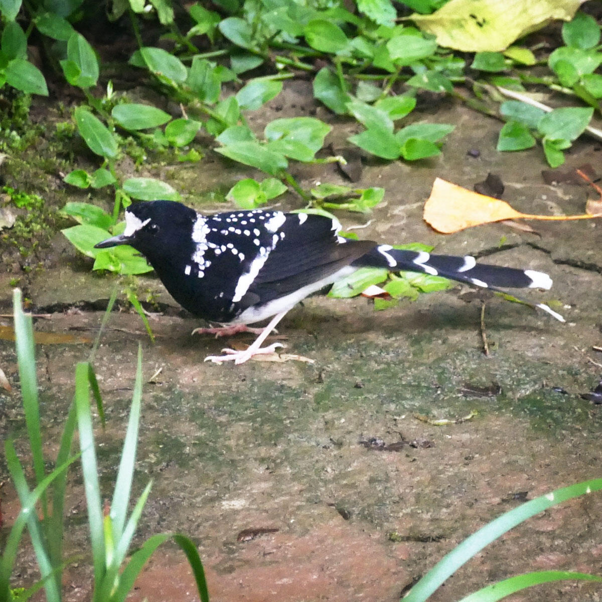 A Spotted Forktail forages along a stream near Mount Emei. Noah Strycker