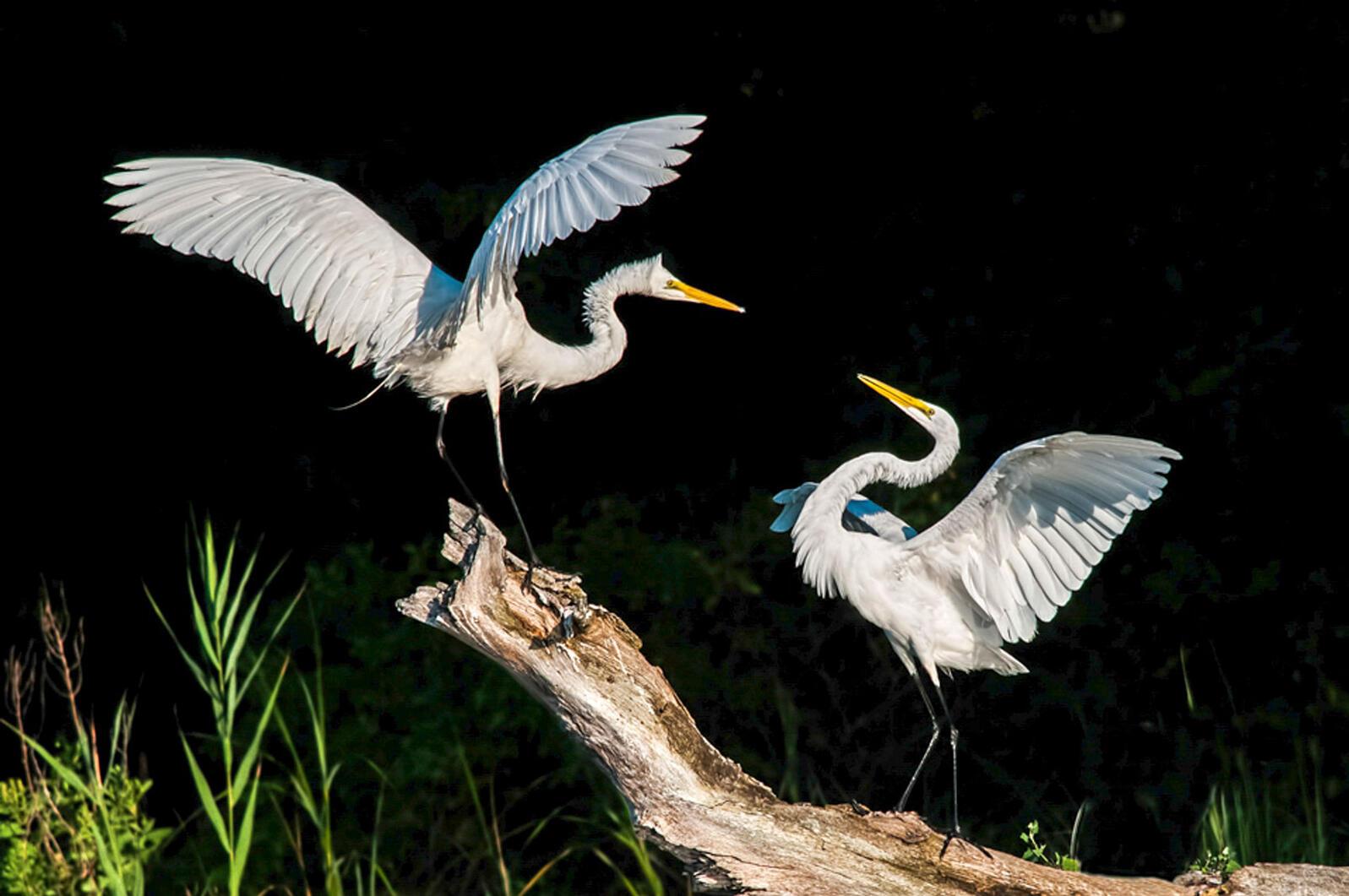 Great Egrets. Meryl Jean Lorenzo/Audubon Photography Awards