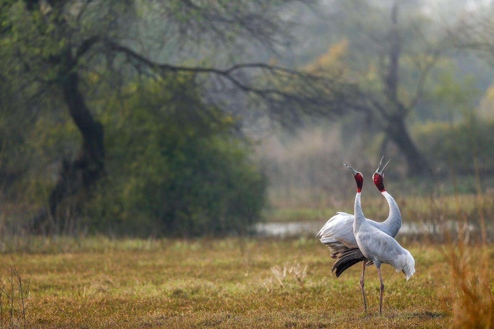 Sarus Cranes. Shivang Mehta/Alamy