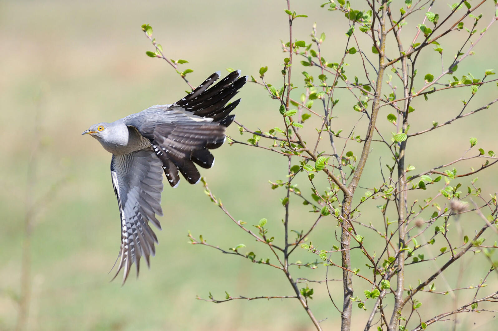If Common Cuckoos invade Alaska, they could have a devastating impact on naive native birds. Victor Tyakht/Alamy
