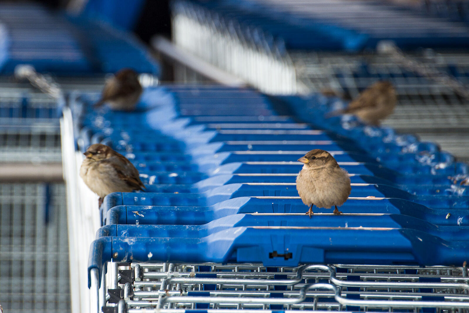 House Sparrows and other birds have been known to use grocery carts as a Trojan Horse of sorts. Averess/Alamy