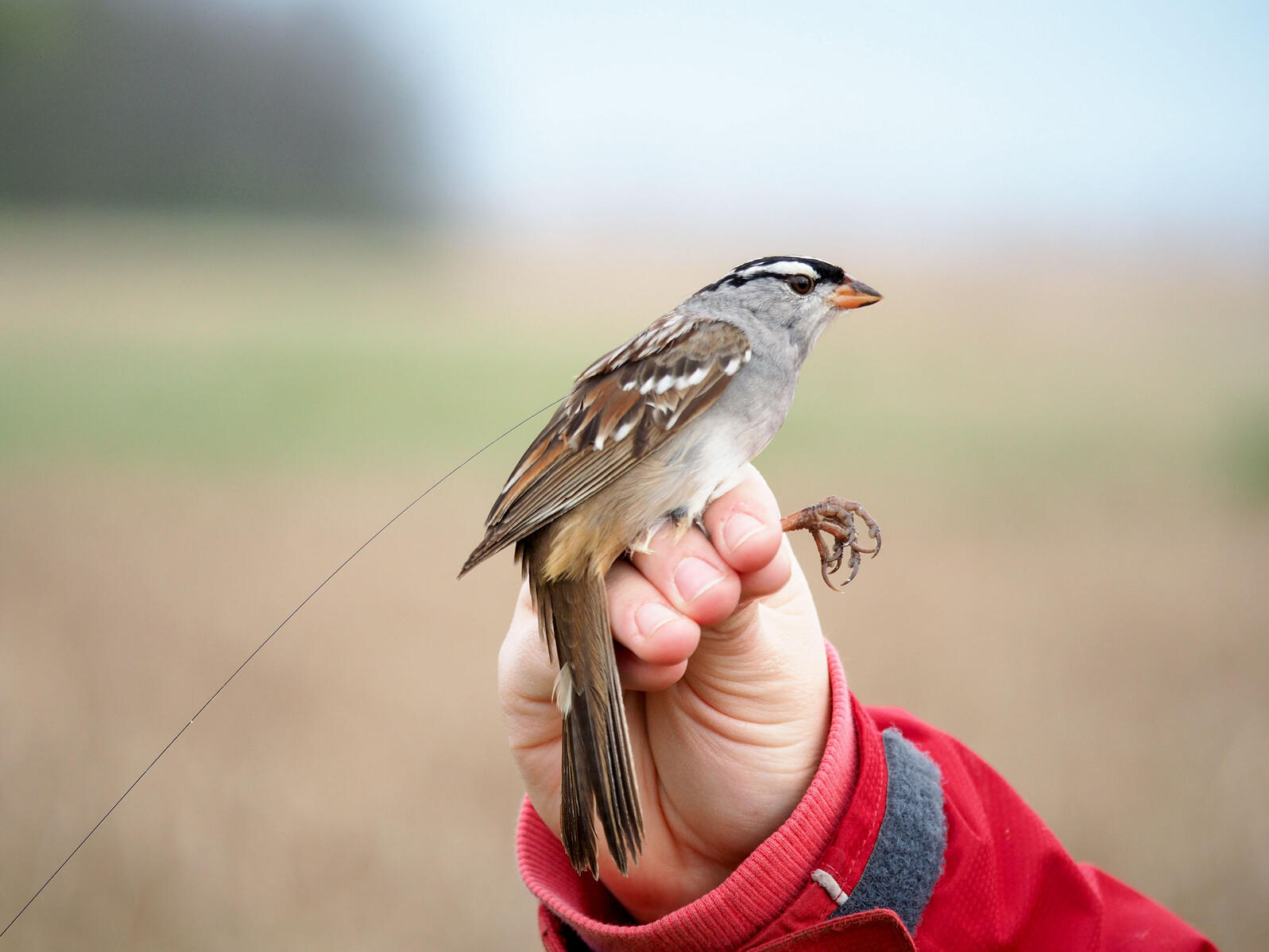 A White-crowned Sparrow affixed with a lightweight digitally-coded radio transmitter (nanotag) that broadcasts signals detected by receiver towers in the Motus automated telemetry network. Margaret Eng