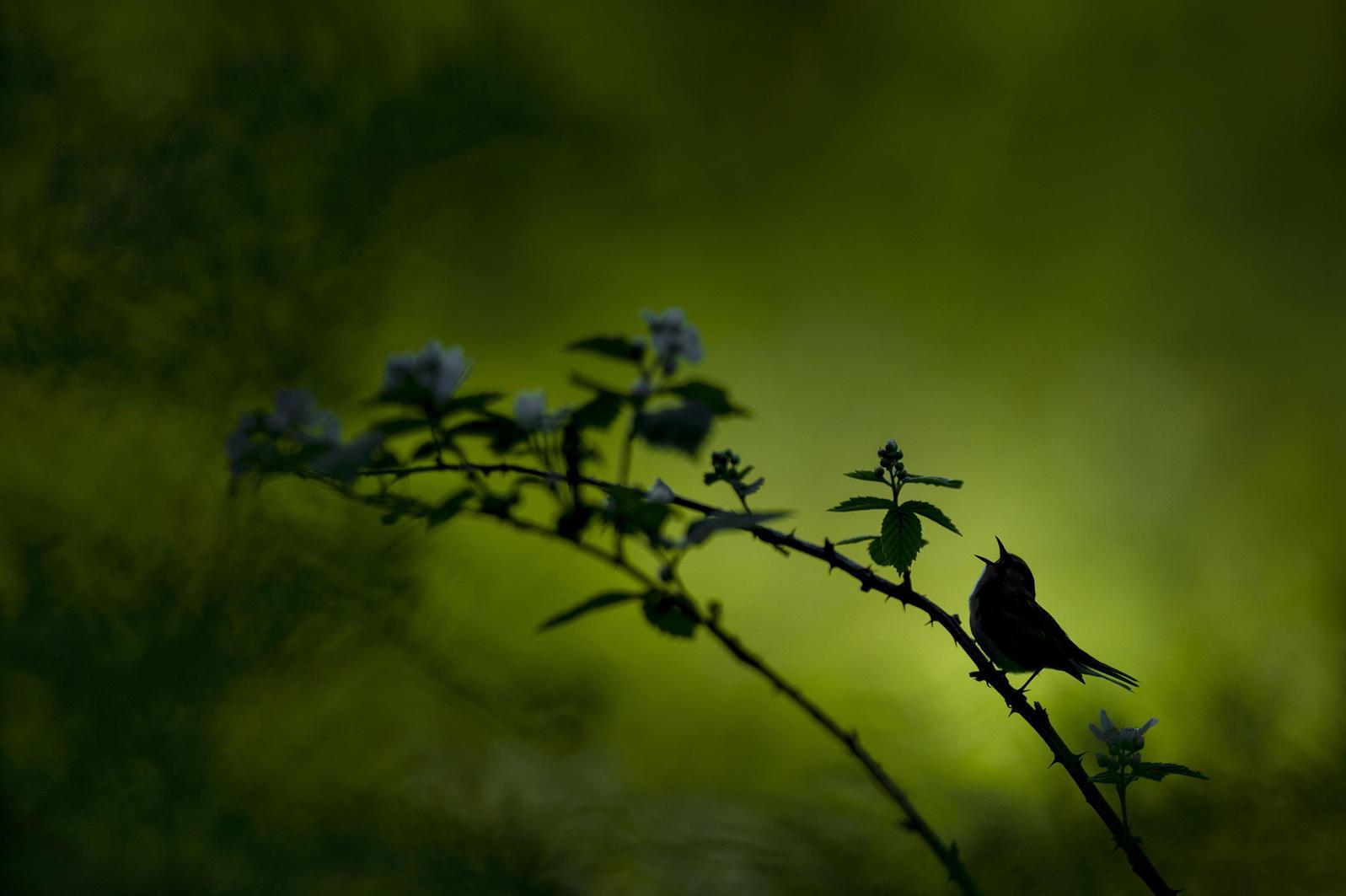 Chipe Flancos Castaños, como la ave en este foto, van a confronte muchas amenazas al sobrevivencia—desde el analisis de Audubon—incluso las olas de calor, las lluvias extremas, y el aumento del nivel del mar. Foto: Raymond Hennessy/Adobe Stock