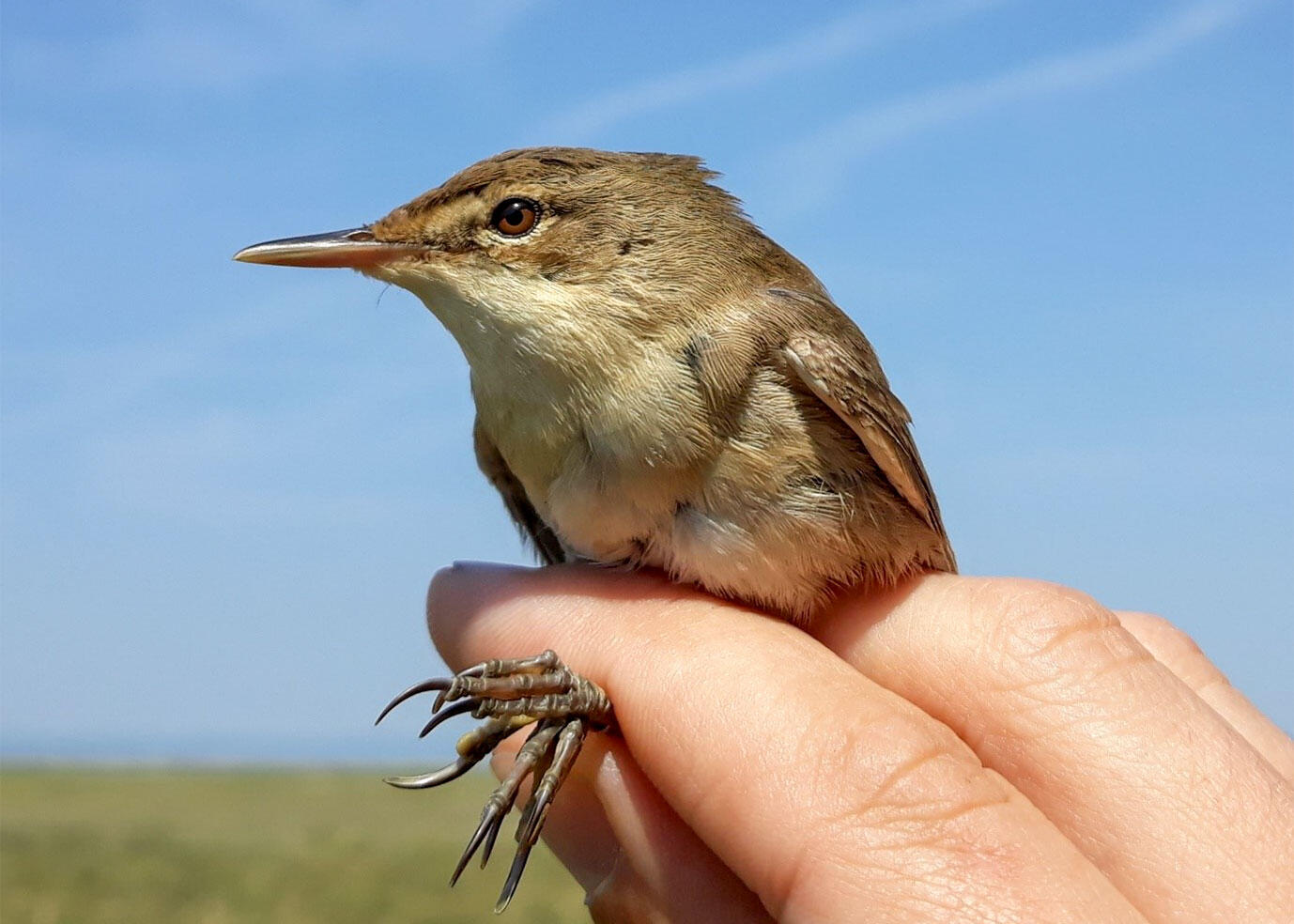 Eurasian Reed Warbler used in the study. Florian Packmor
