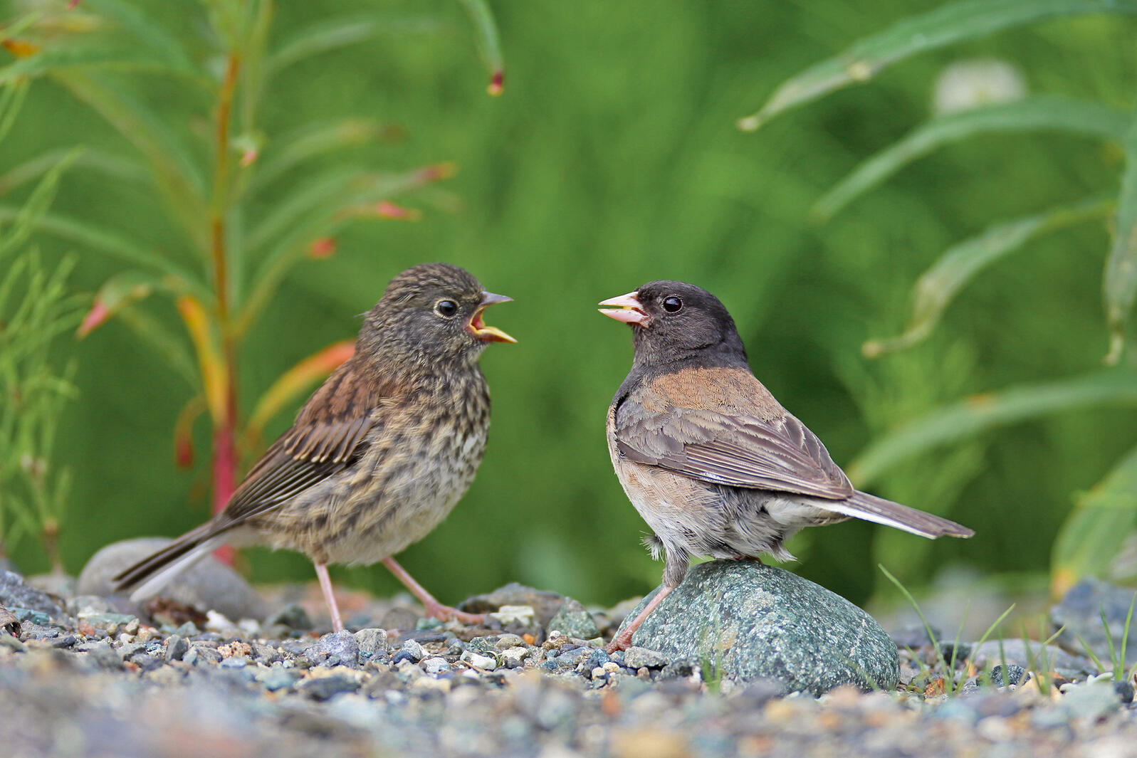 Dark-eyed Junco fledglings and parents have different ideas about when it's appropriate for the younger bird to move out. blickwinkel/Alamy