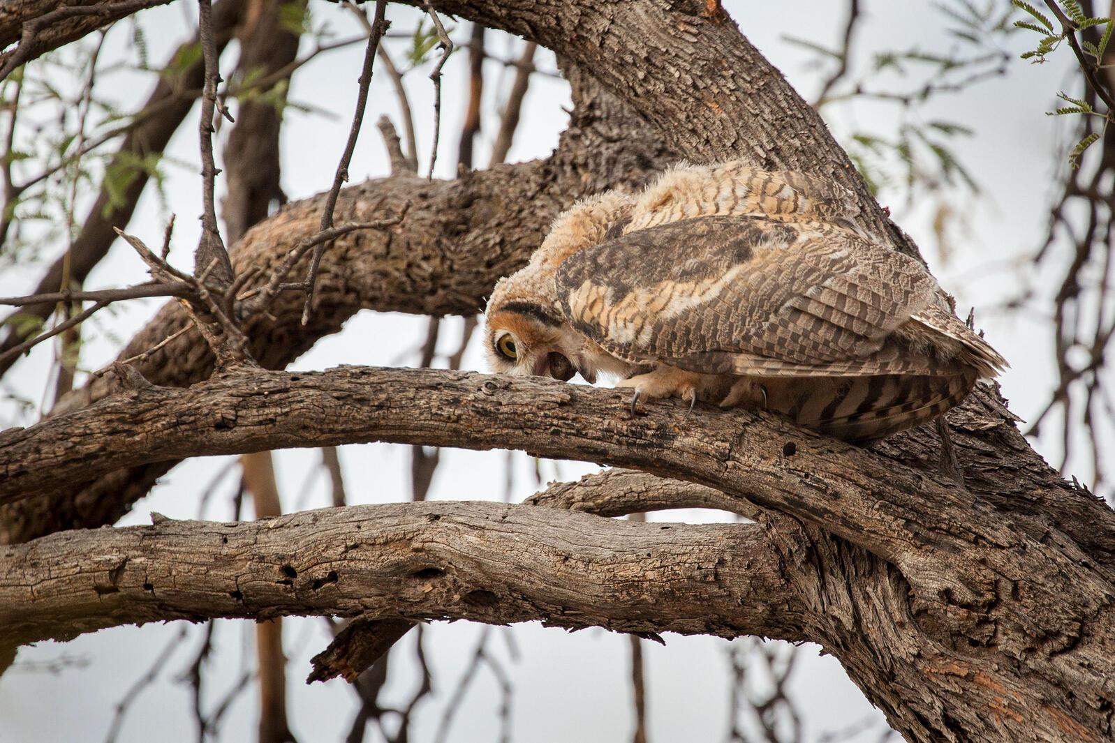 Great Horned Owl. Jason Bazzano/Alamy