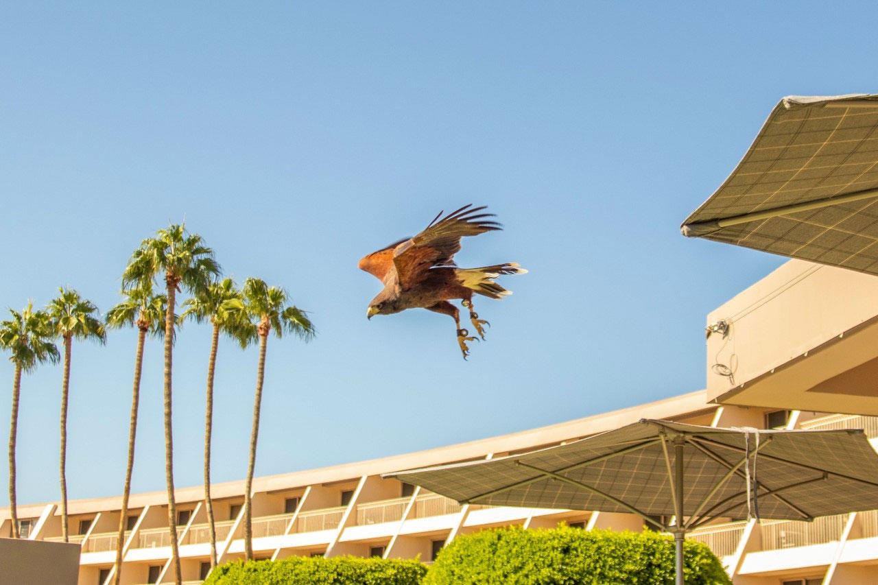 Calvin, a Harris's Hawk, at The Phoenician in Scottsdale, Arizona. Shaena Montanari