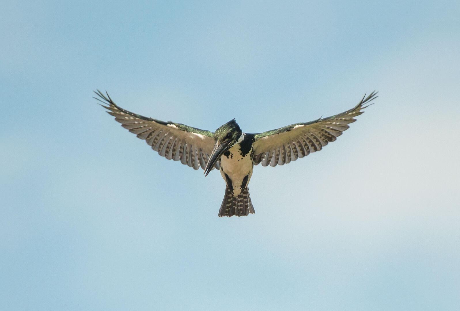 "Amazon Kingfisher. <a href=""https://commons.wikimedia.org/wiki/File:Female_amazon_kingfisher,_Tarcoles_river,_Costa_Rica,_December_2014.jpg"">Kpts44</a>/Wikimedia Commons (CC0 1.0)"
