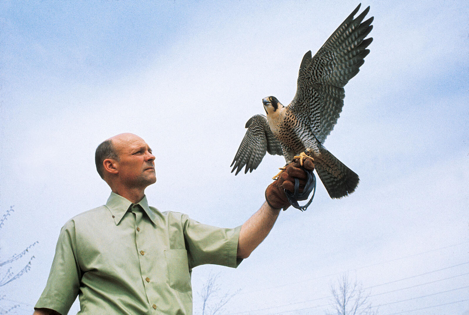 Tom Cade holding a Peregrine Falcon in the mid '70s. The Peregrine Fund