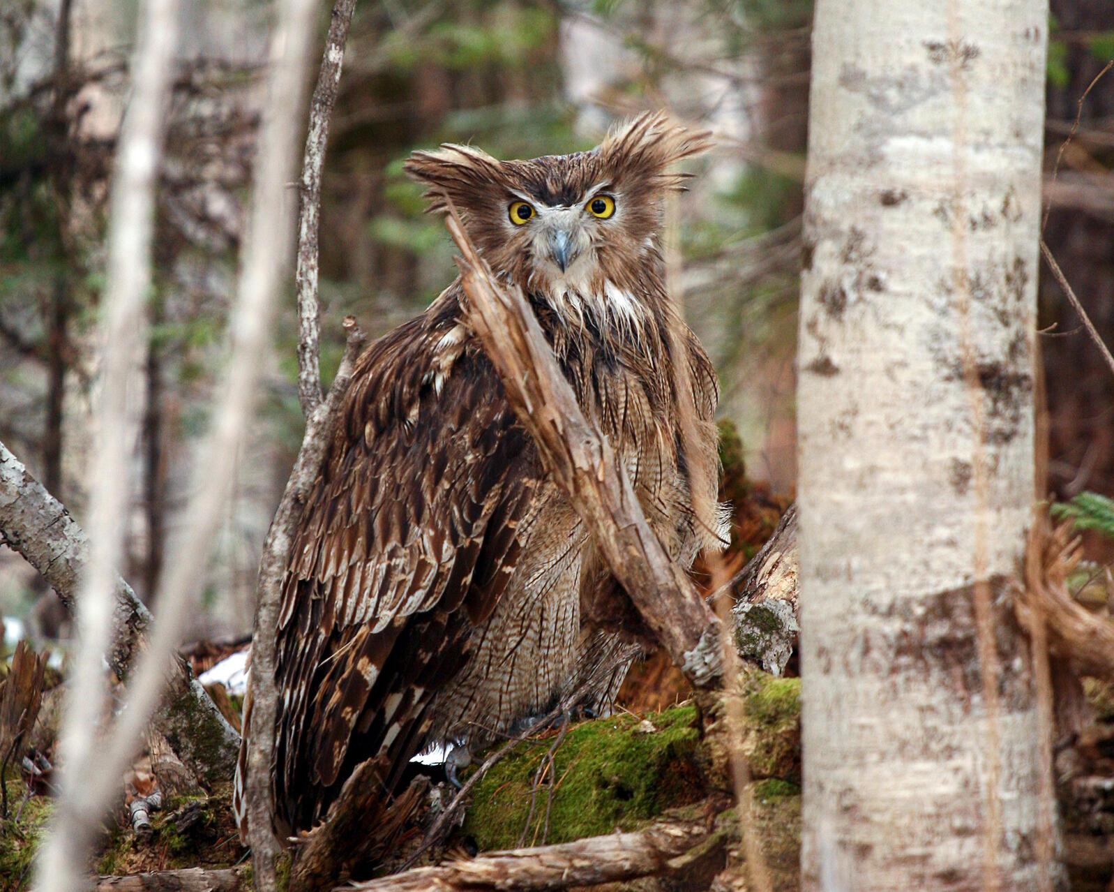 Blakiston's Fish Owl. Jonathan C. Slaght