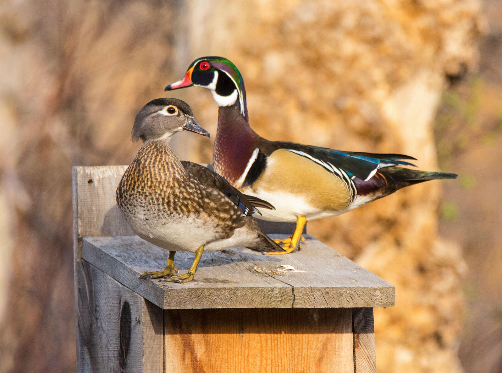 Wood Ducks. Steve Bly/Alamy