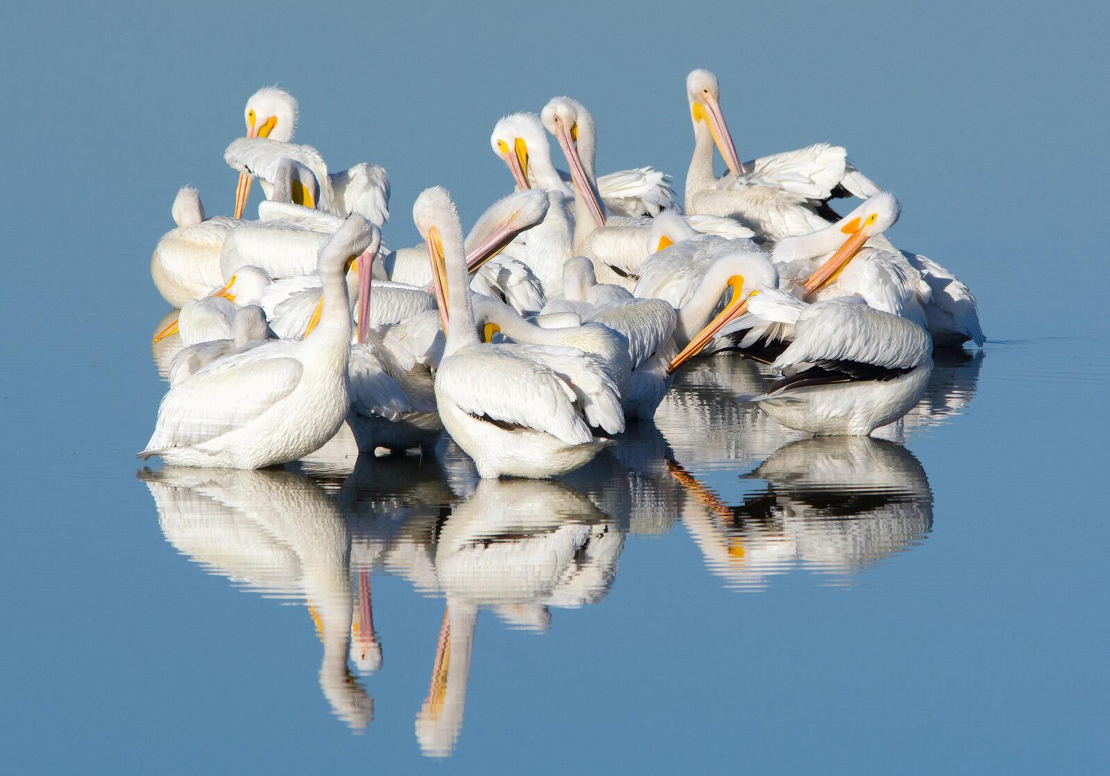 American White Pelicans. Georgia Wilson/Great Backyard Bird Count
