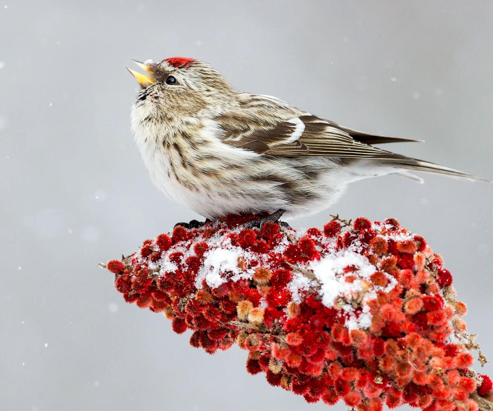 Common Redpoll on Staghorn Sumac. Missy Mandel/Great Backyard Bird Count