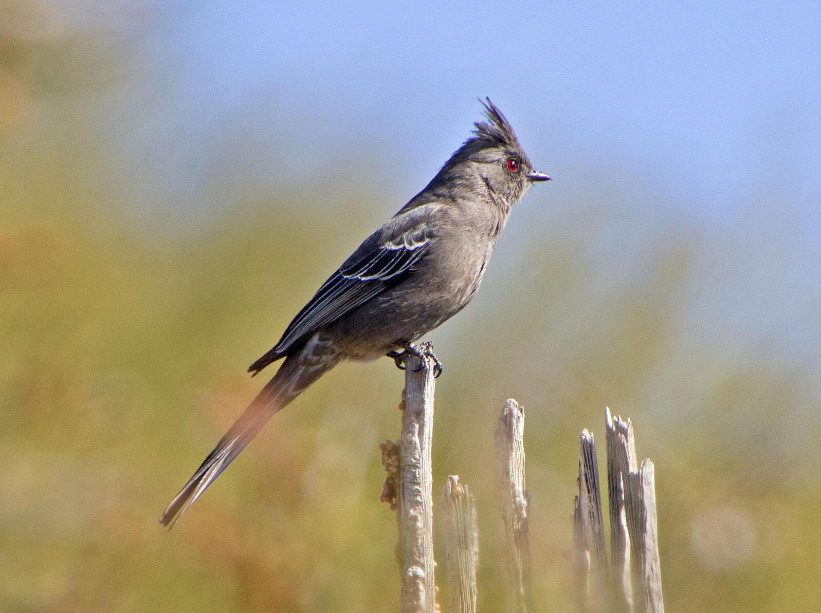 Phainopepla. Elaine Padovani/Great Backyard Bird Count
