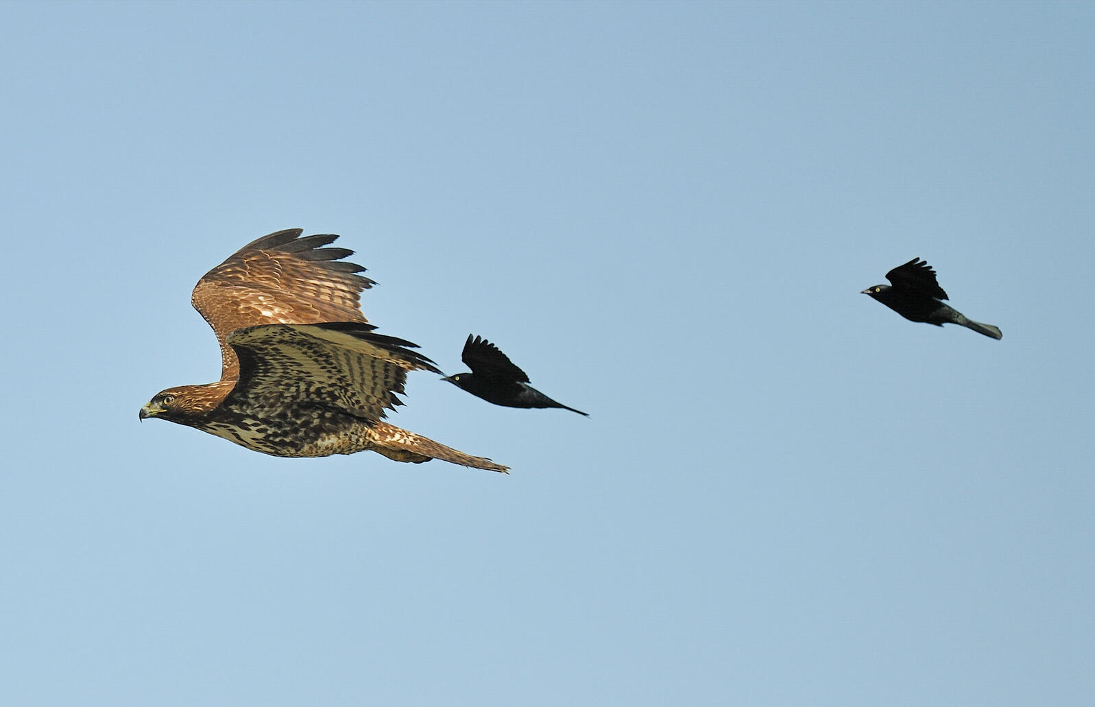 Red-tailed Hawk and Brewer's Blackbirds. Donald Metzner/Great Backyard Bird Count