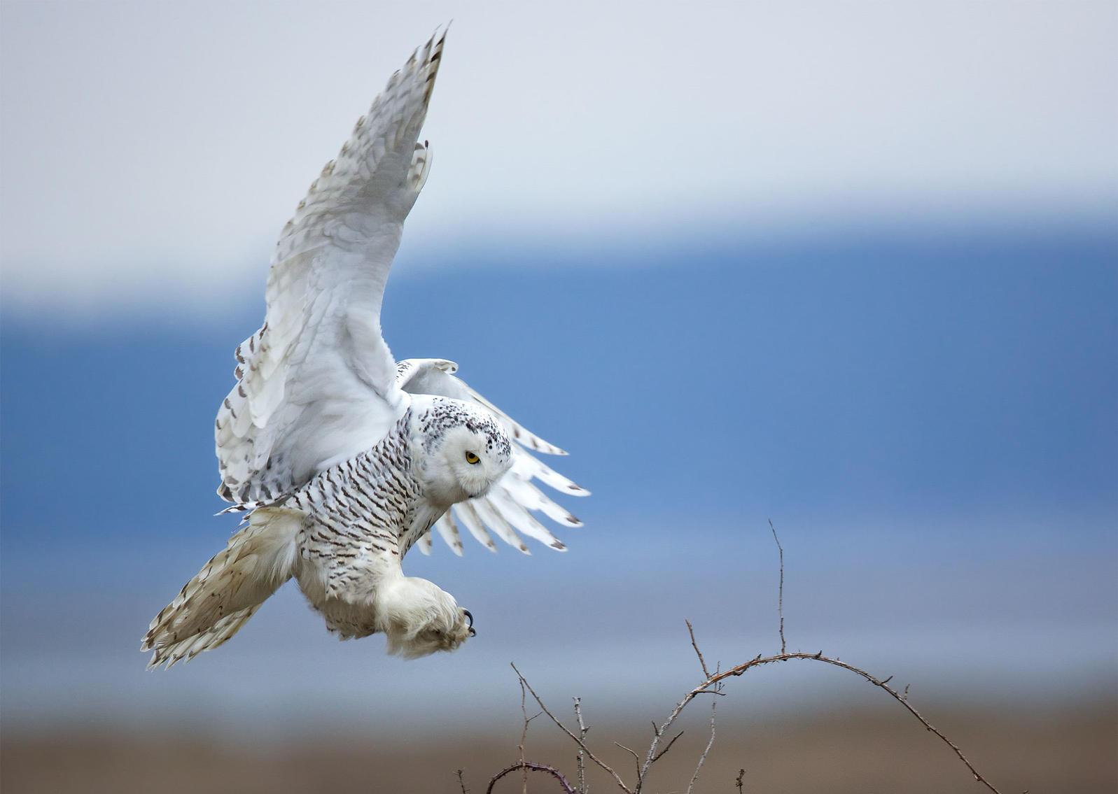 Snowy Owl. Diane McAllister/Great Backyard Bird Count