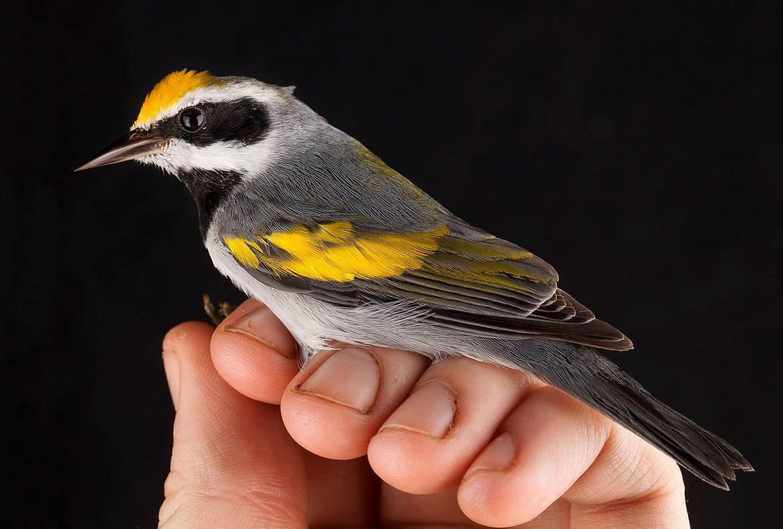 Golden-winged Warbler. Sean Graesser